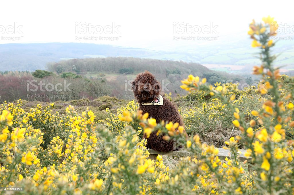 Brown dog in Gorse field stock photo