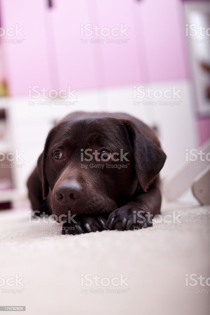 Brown dog is laying on the floor royalty-free stock photo