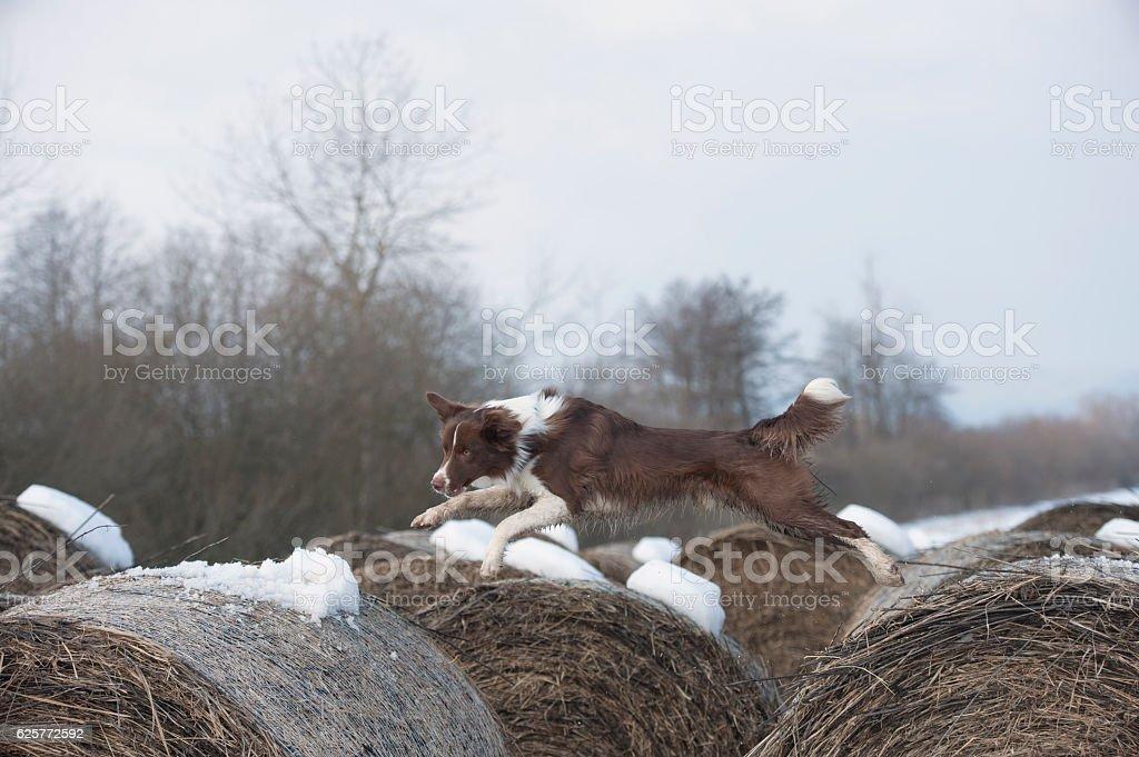 Brown dog jumping stock photo