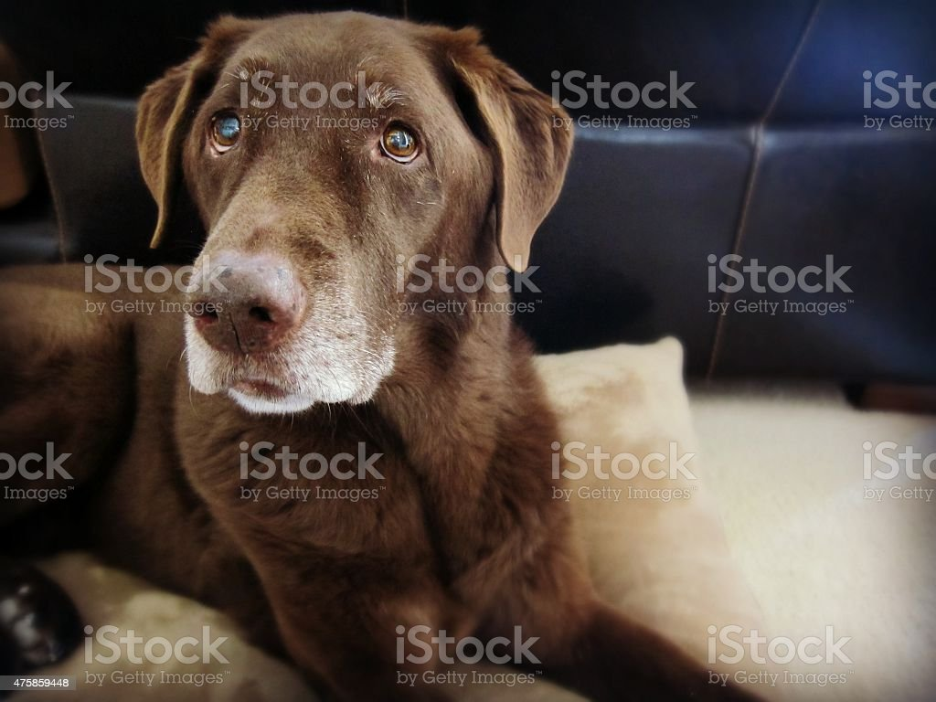 Brown dog laying on dog bed stock photo