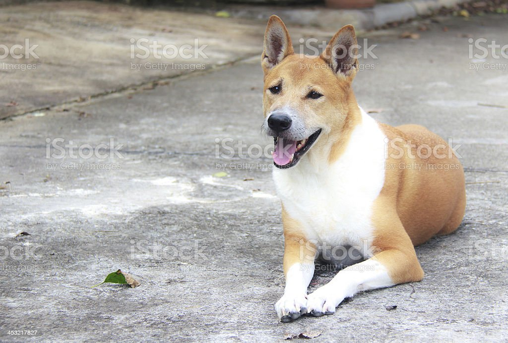 Brown dog looking , royalty-free stock photo