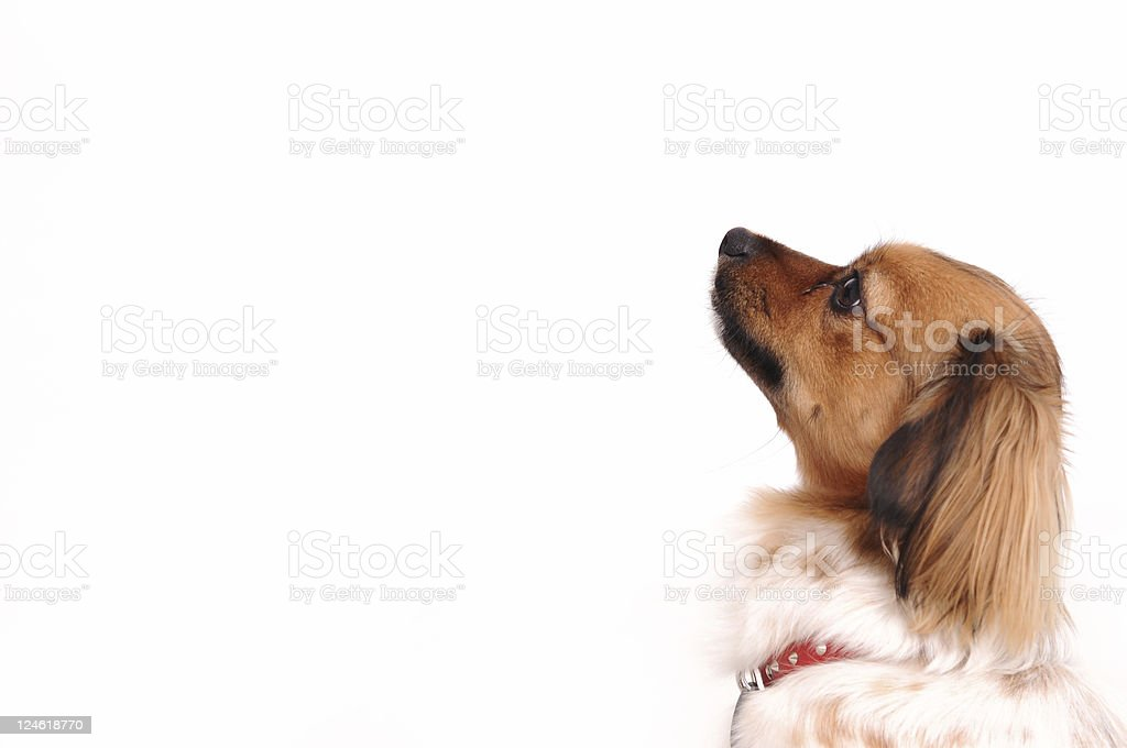 brown dog royalty-free stock photo
