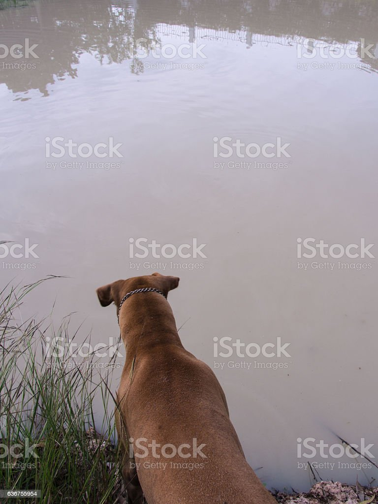 Brown Dog Waiting stock photo