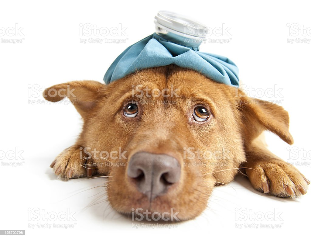 Brown dog with hot water bottle on head and sick expression stock photo