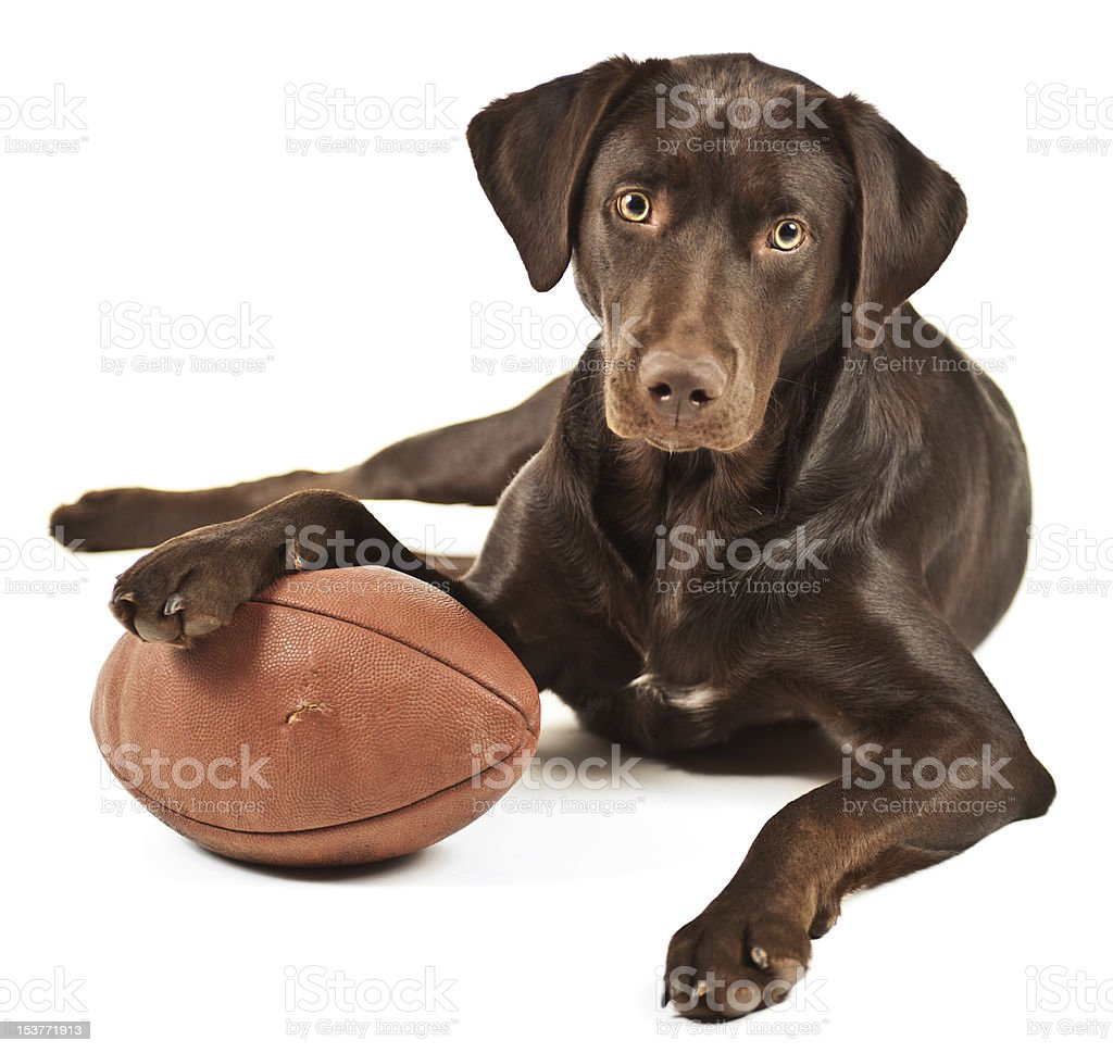 Brown dog with paw lying on football stock photo