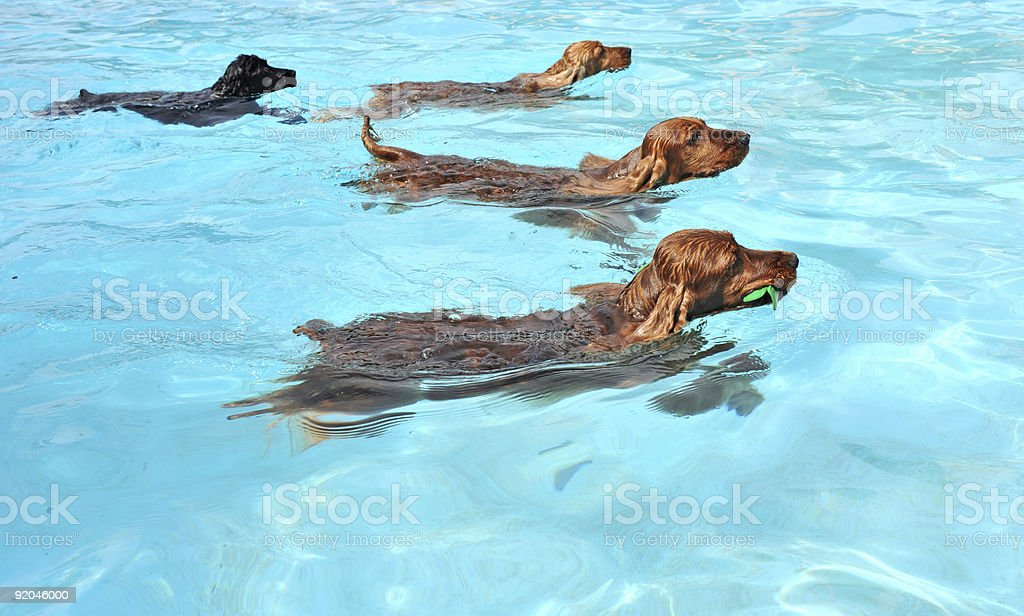 4 brown dogs swimming in a bright pool stock photo