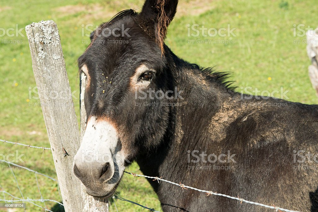 brown donkey resting his head on a fence stock photo