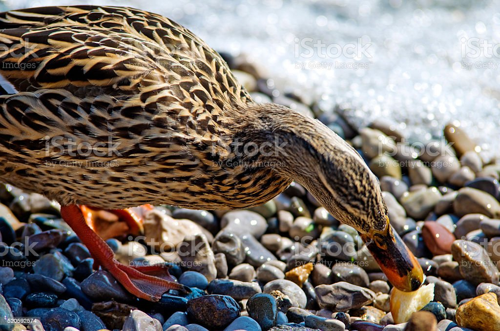 Brown duck royalty-free stock photo