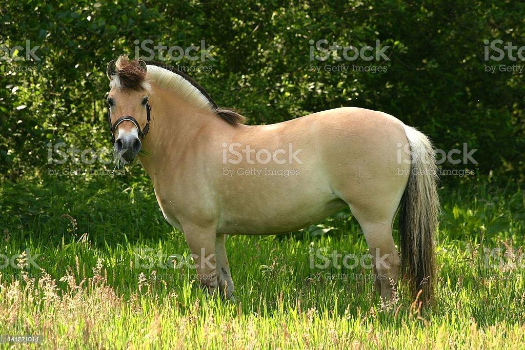 Brown dun fjord pony royalty-free stock photo