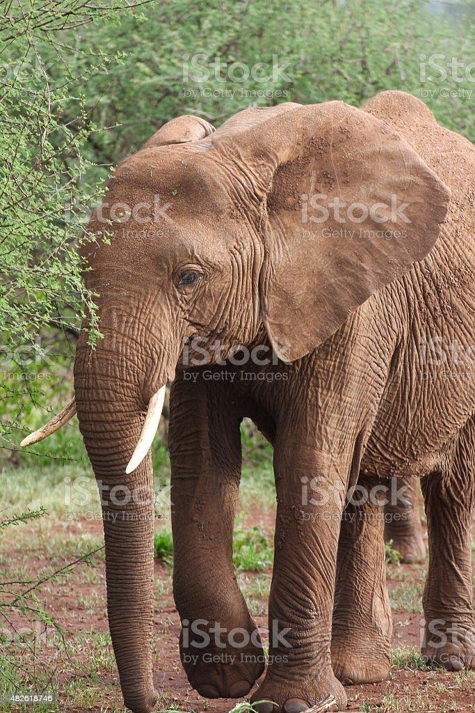 Brown elephant royalty-free stock photo