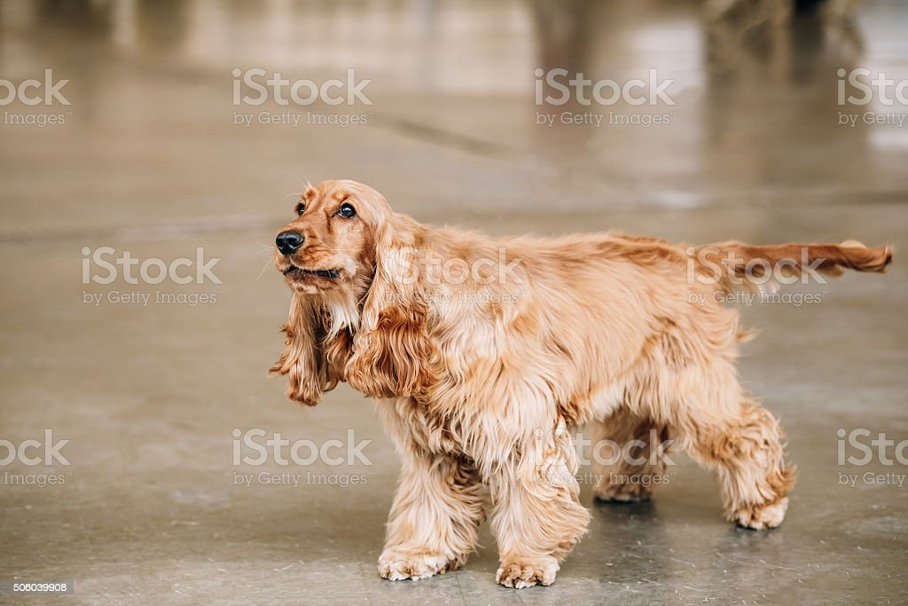 Brown English Cocker Spaniel Dog indoor. stock photo