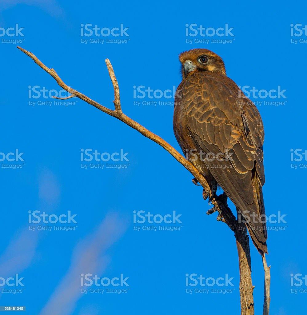 Brown falcon stock photo