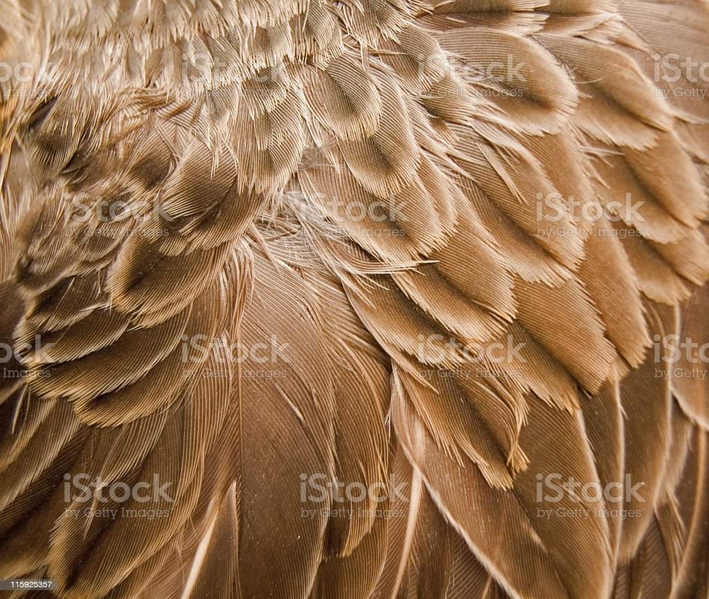 Brown Feather Background stock photo