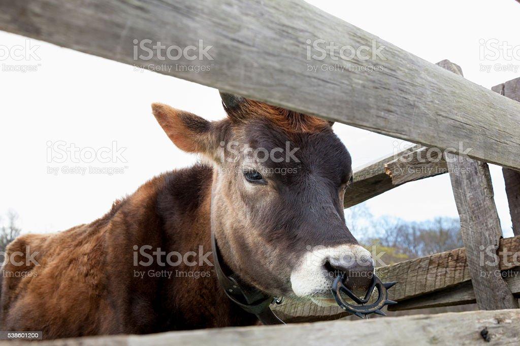 Brown Female Calf stock photo