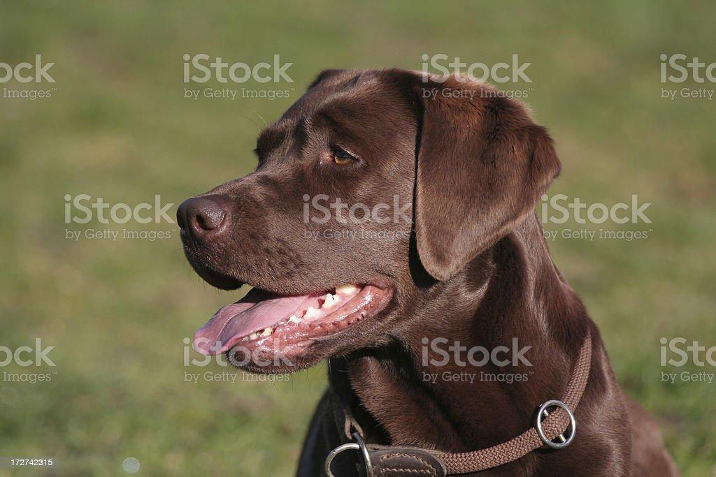 Brown female Labrador stock photo