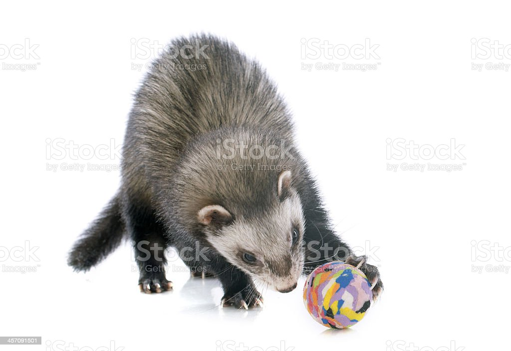 brown ferret and ball stock photo