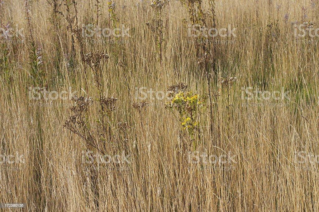 Brown field autumn grass and ragwort on Mitcham Common stock photo