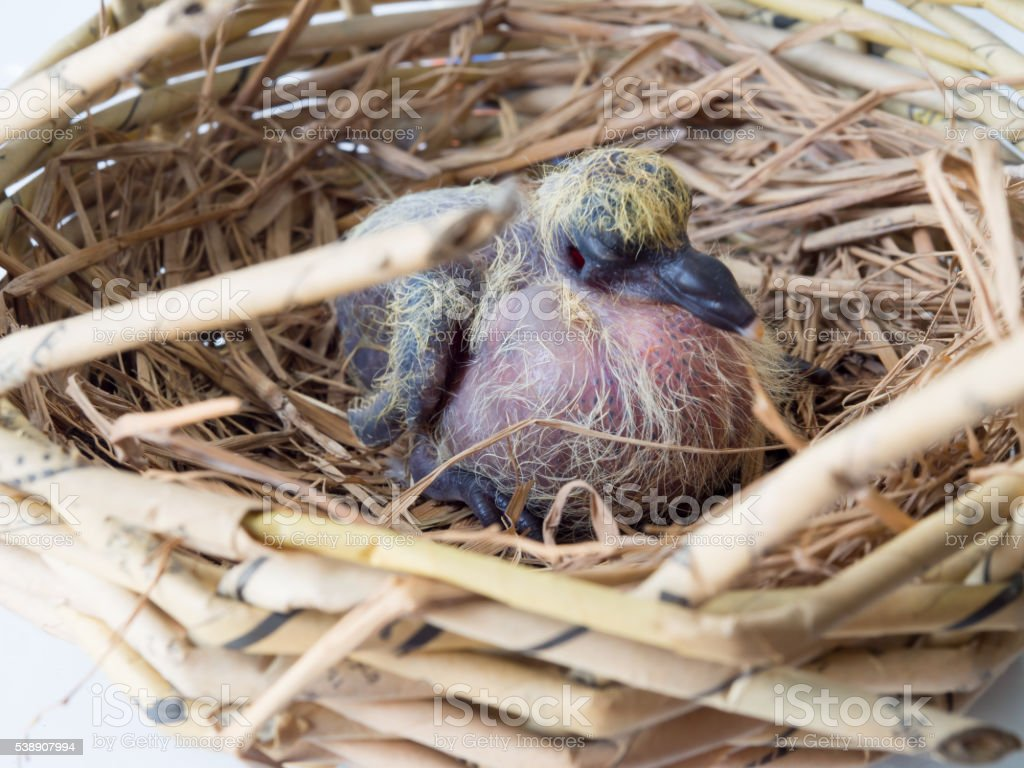 Brown Flapper of acridotheres it Sleeping in a nest. stock photo