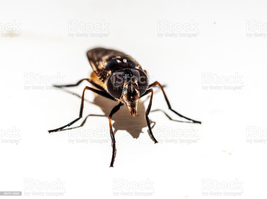 brown fly on white background stock photo