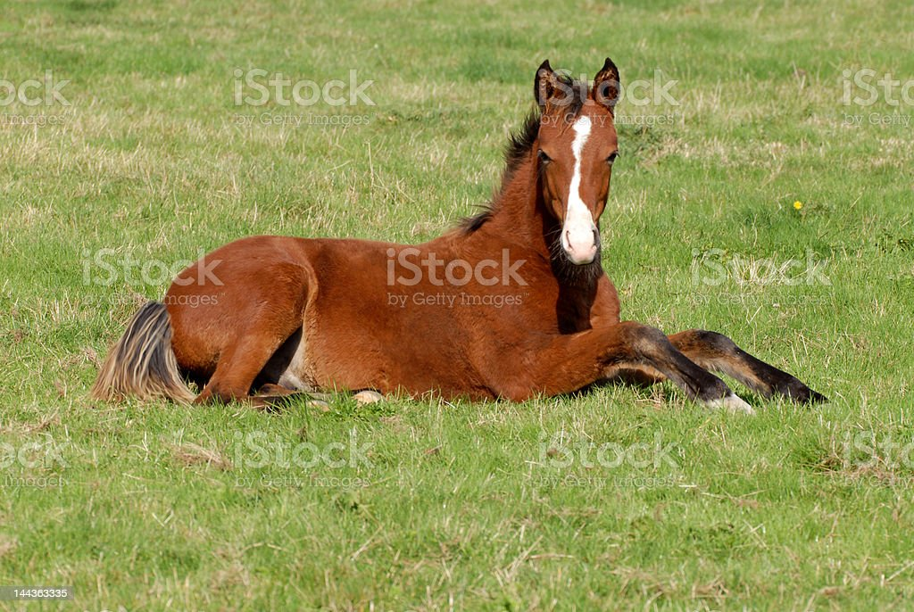 brown foal lying royalty-free stock photo