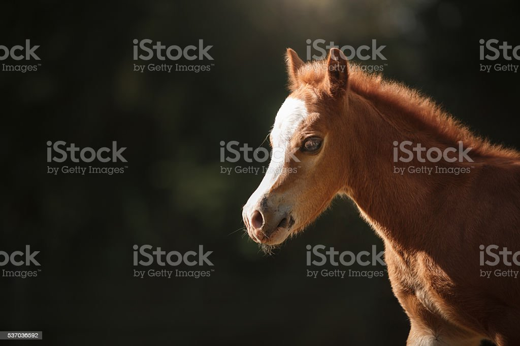 Brown foal running on the field stock photo