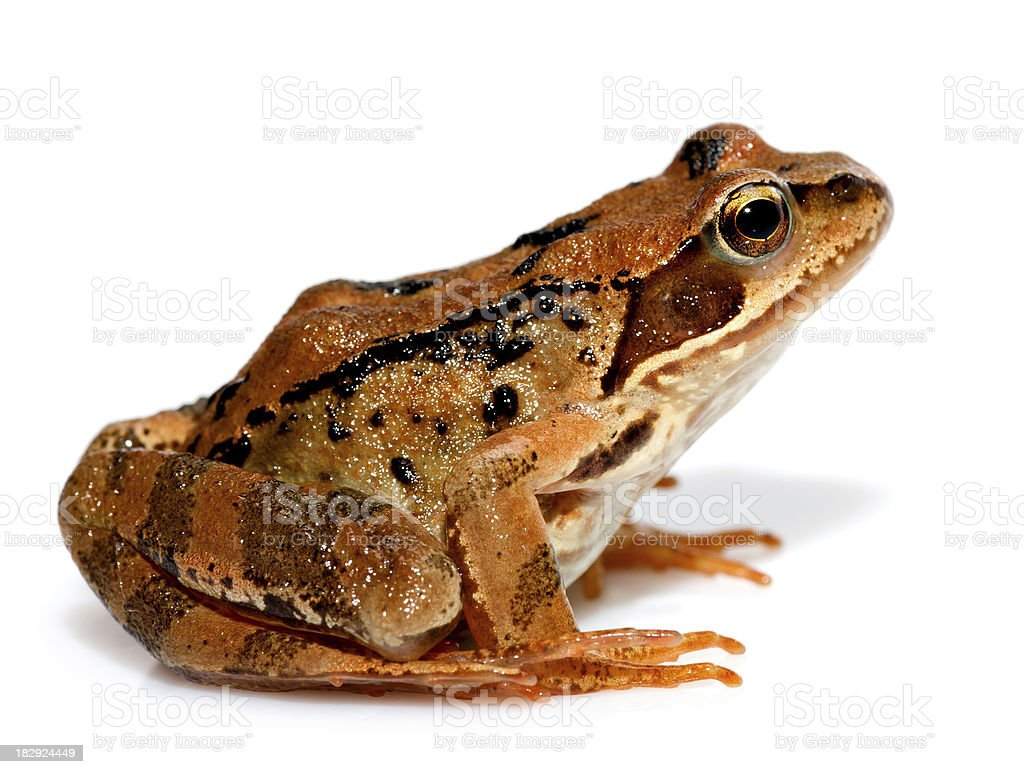 brown frog royalty-free stock photo