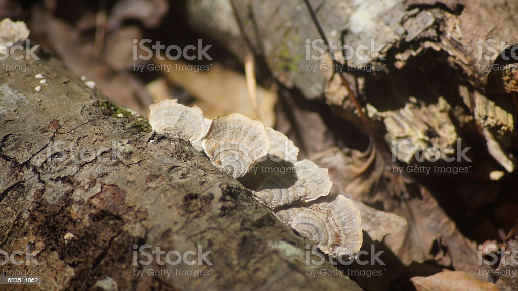 Brown fungi growing on a tree. royalty-free stock photo