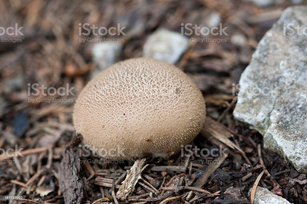 Brown fungus stock photo