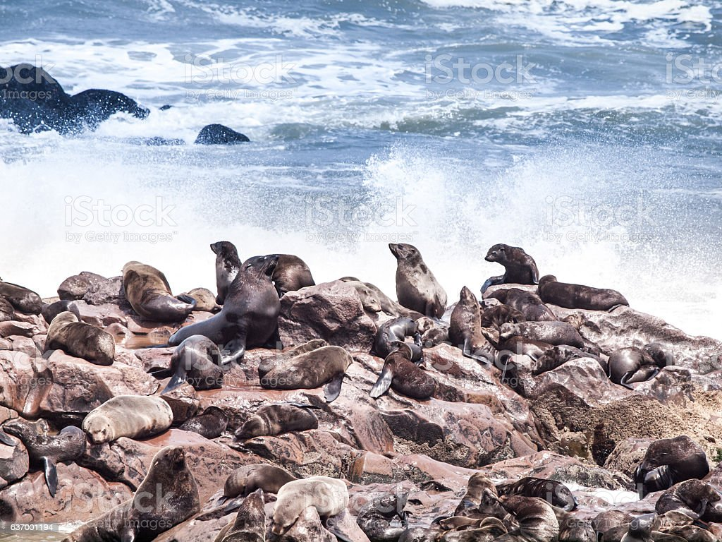 Brown fur seal, Arctocephalus pusillus, colony at Cape Cross in stock photo