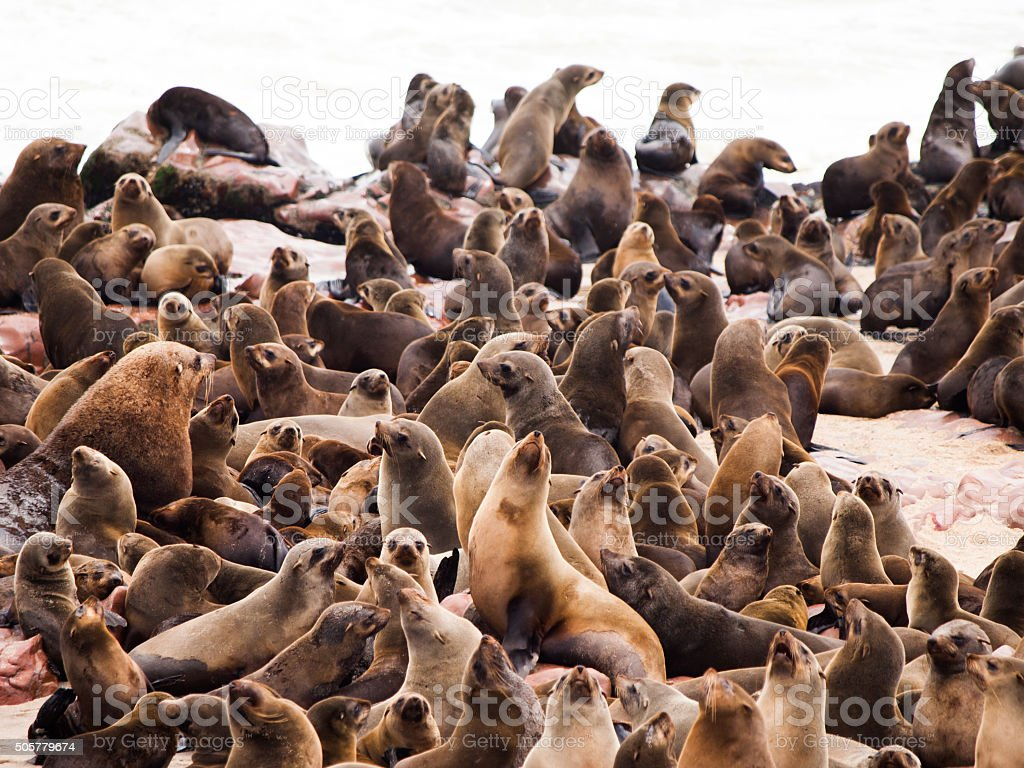 Brown Fur Seal colony at Cape Cross stock photo