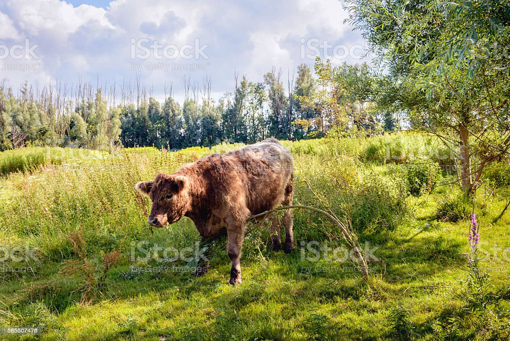 Brown Galloway bull quietly eating a young willow tree stock photo