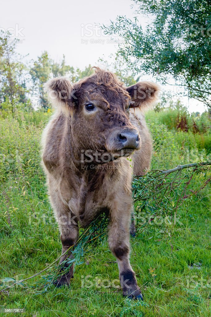Brown Galloway looks up while eating a young willow tree stock photo