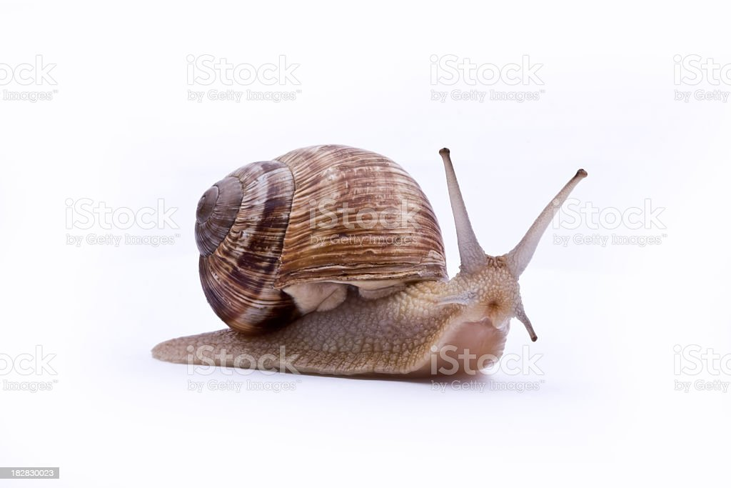 A brown garden snail on a white background stock photo