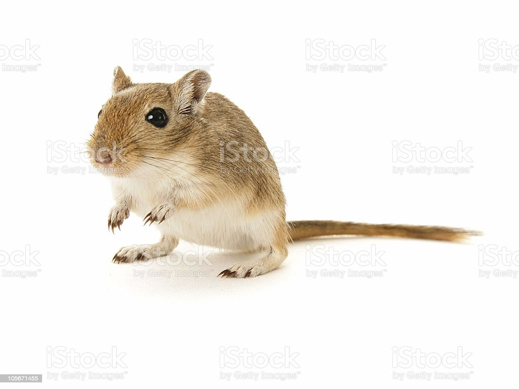 Brown Gerbil on white background stock photo