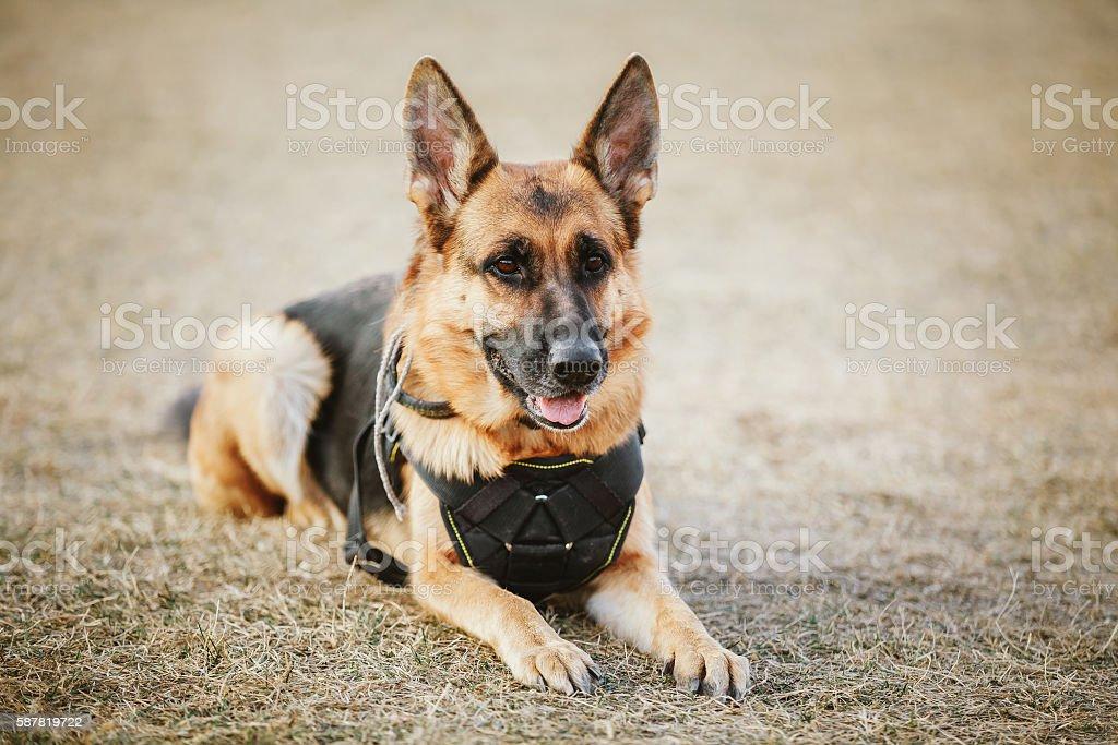 Brown German Sheepdog Sitting On Ground stock photo