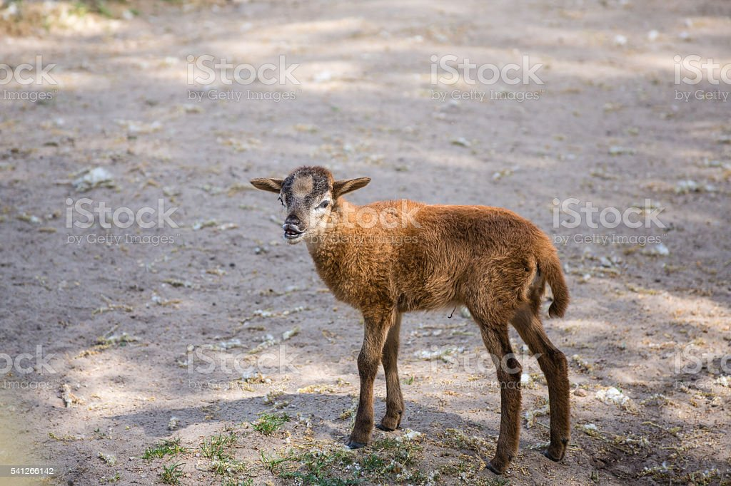 Brown goat bleat standing on the ground stock photo