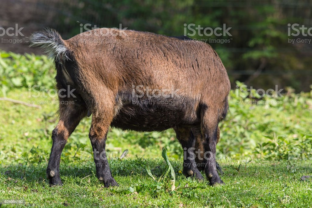 Brown goat on a meadow stock photo