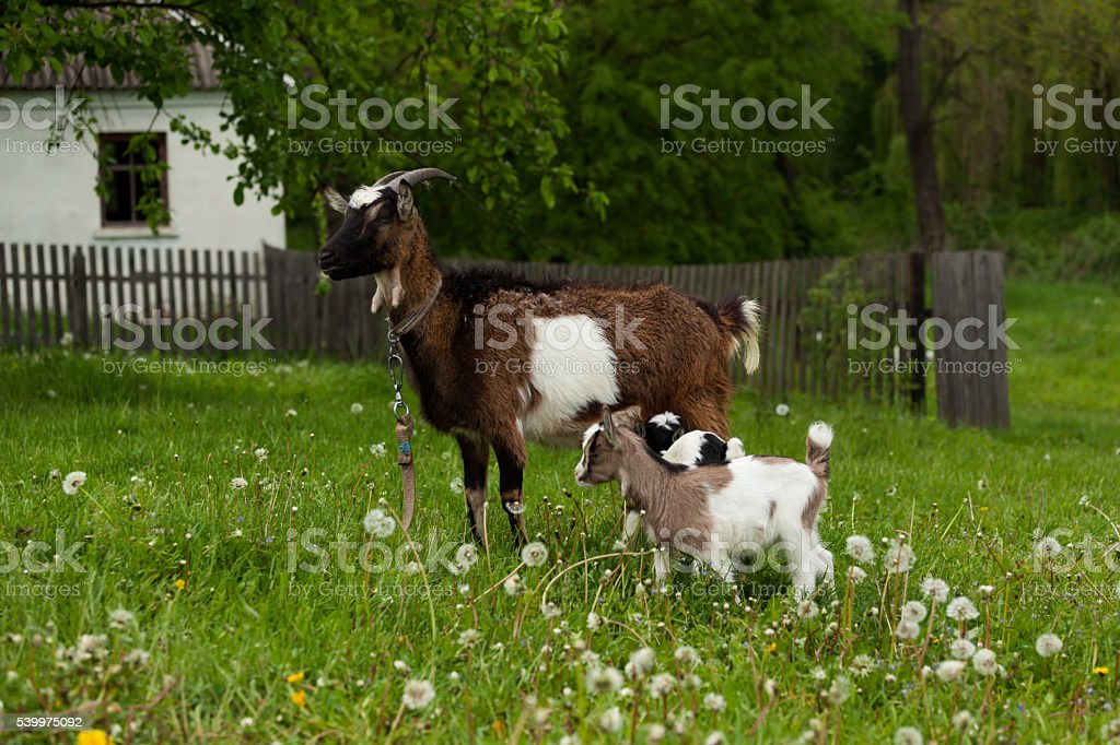 Brown goat with goat kids stock photo