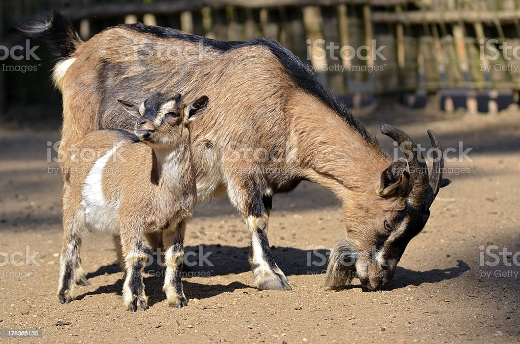 Brown goat with its young stock photo