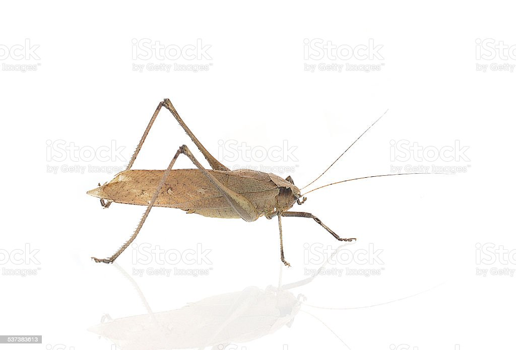 Brown Grasshopper isolated on white background stock photo