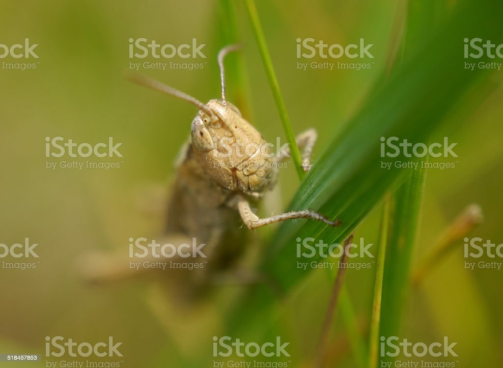 Brown grasshopper on a blade of grass royalty-free stock photo