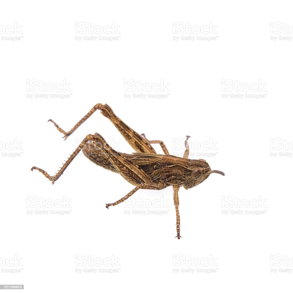 Brown grasshopper on a white background stock photo