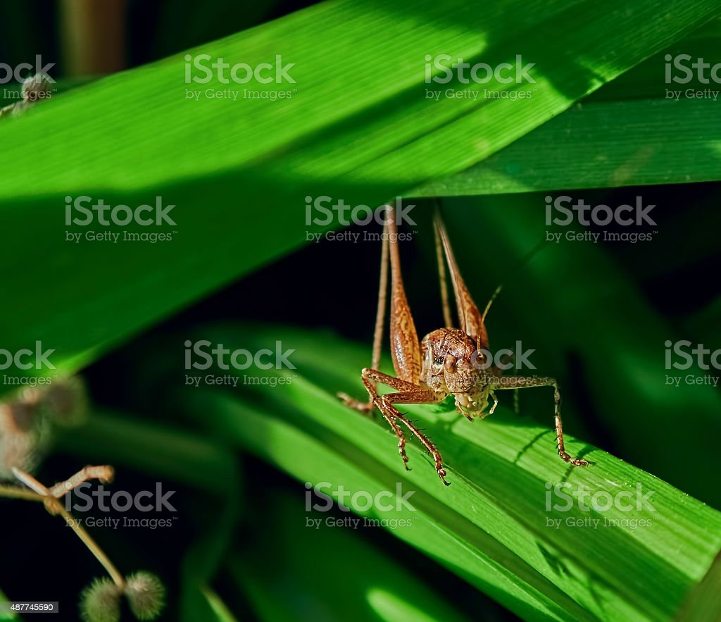 brown grasshopper royalty-free stock photo