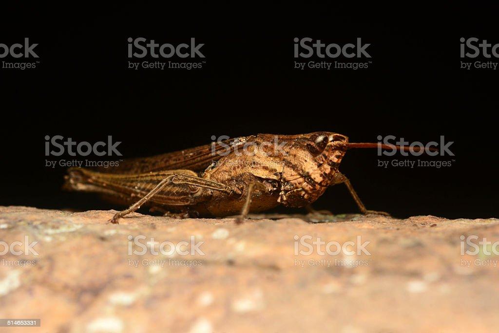 Brown Grasshopper stock photo