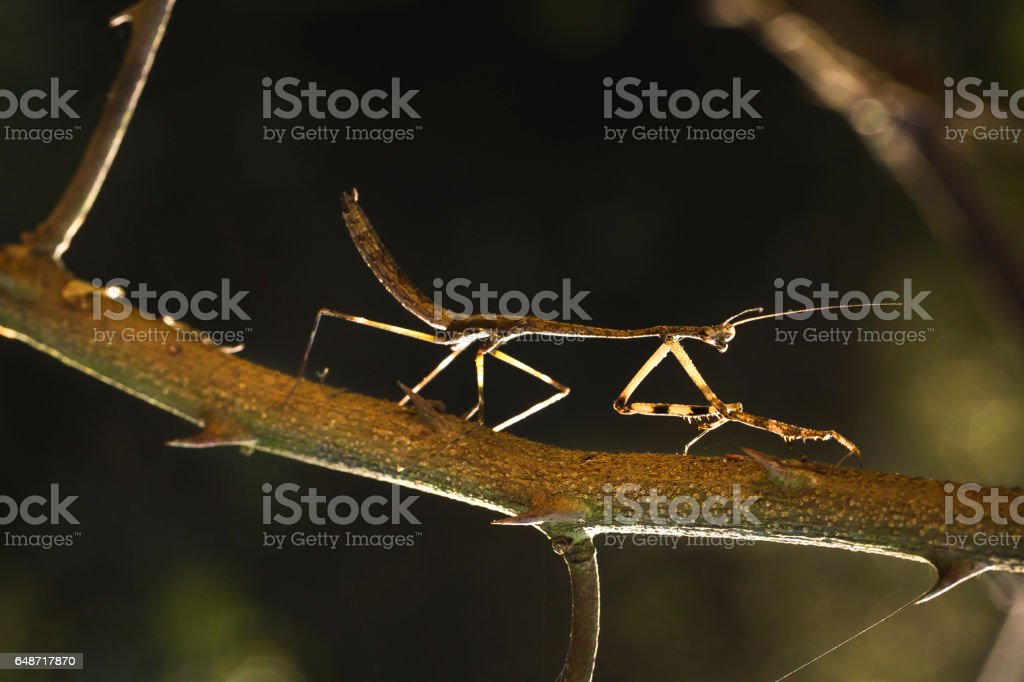brown grasshoppers camouflaged on tree stock photo
