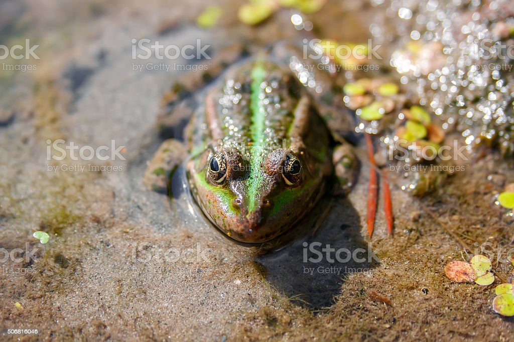 Brown green frog in a bog close up front view stock photo