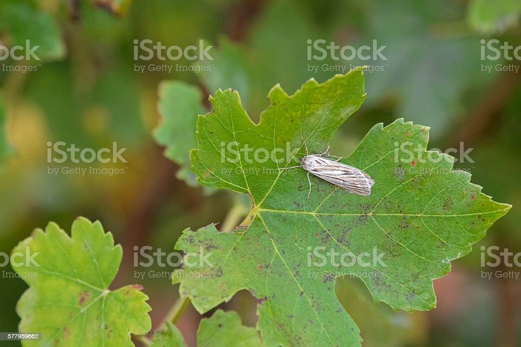 Brown grey Moth on leaf. Dangerous pest of grapevine stock photo
