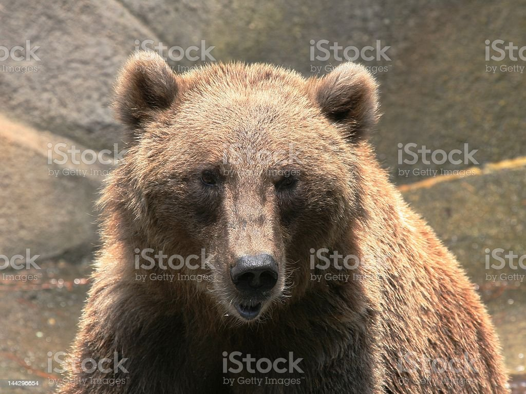 Brown grizzly bear royalty-free stock photo
