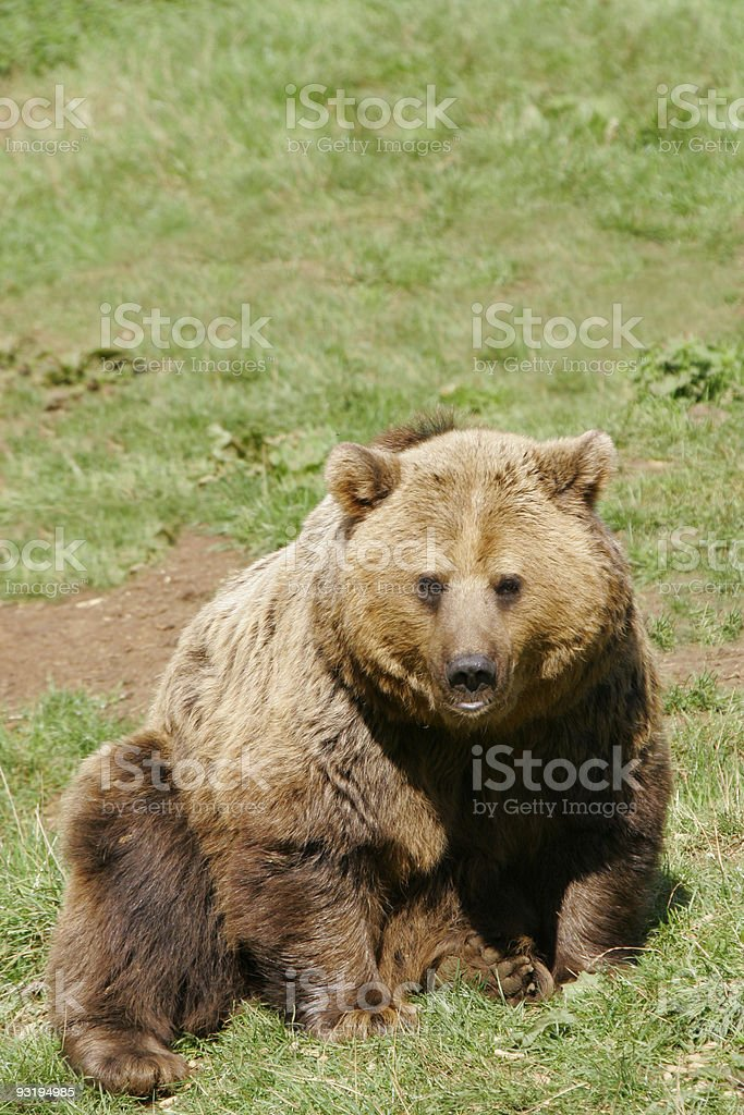 Brown Grizzly Bear stock photo