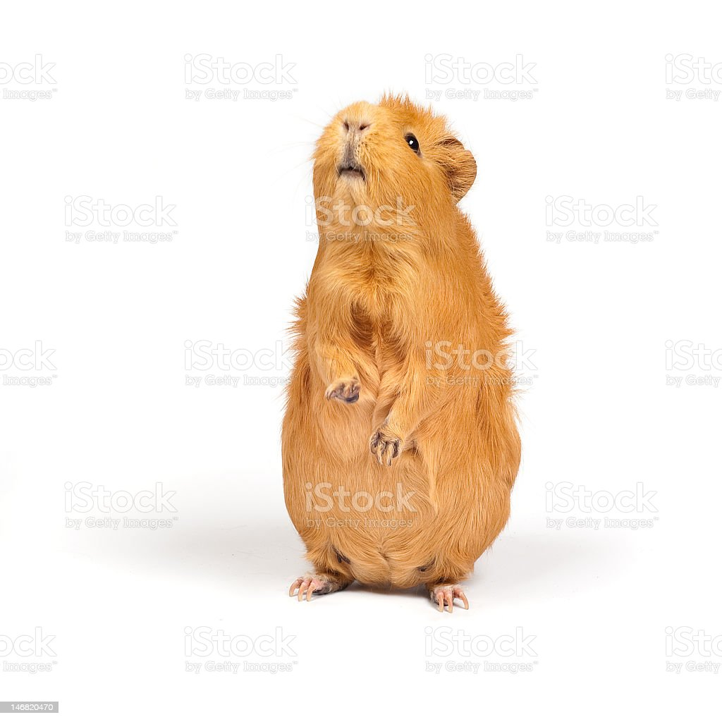 Brown guinea pig standing on hind legs stock photo
